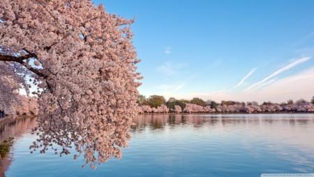 washington_dc_cherry_blossom-wallpaper-1280x720